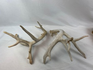 Set of Whitetail Antler Sheds - 177""