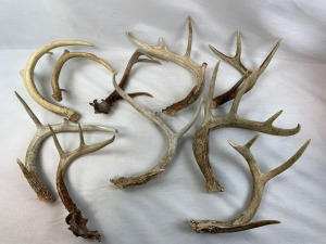 (10) Whitetail Antler Sheds